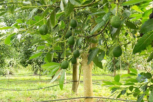 Дерево авокадо во сне