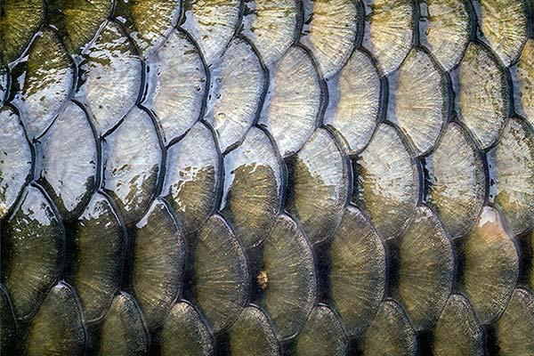 К чему снится чешуя от рыбы