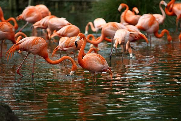 К чему снится фламинго