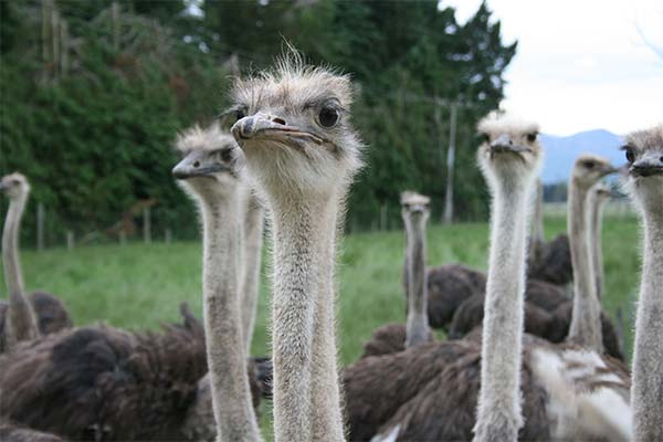 К чему снится страус