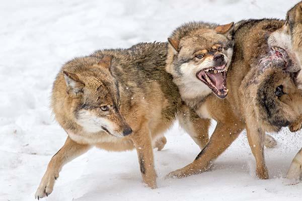 К чему снится укус волка