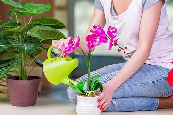 Поливать орхидею во сне