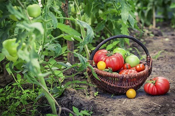 Помидоры в огороде
