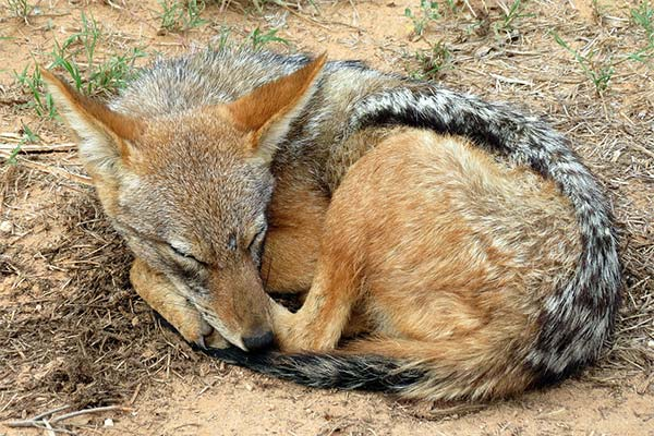 Шакал спит