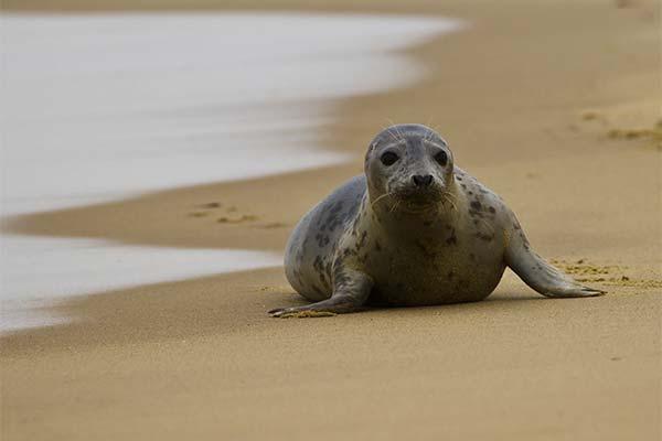 Тюлень на суше