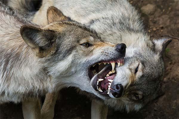 Укусил волк во сне