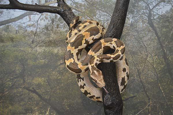 Анаконда на дереве