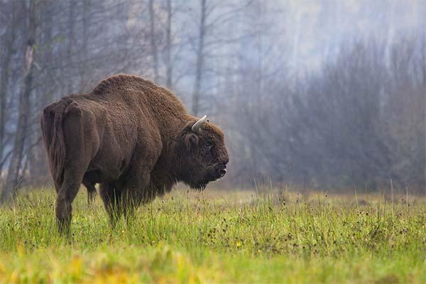 Бизон в лесу