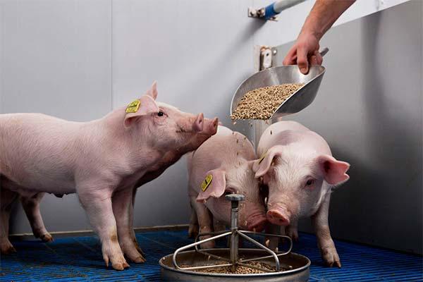 Кормить свинью во сне