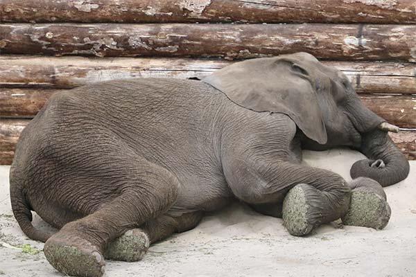 Слон спит