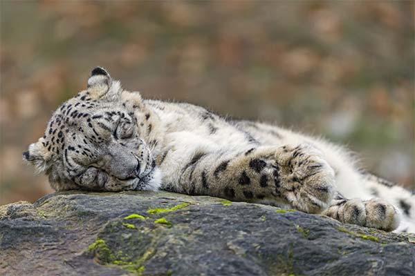 Снежный барс спит
