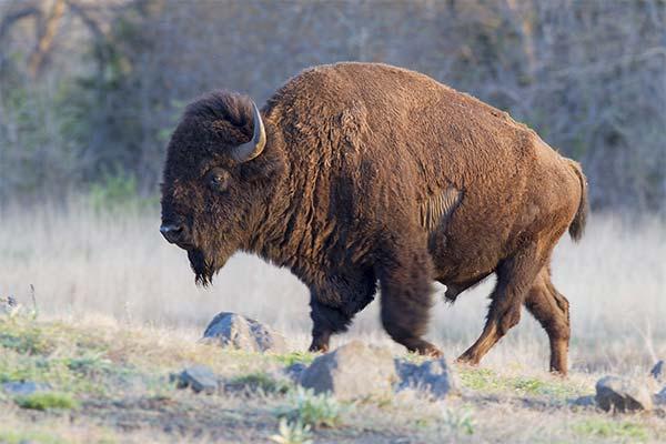Сонник бизон