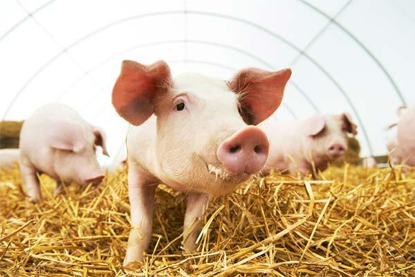 Свинья на ферме
