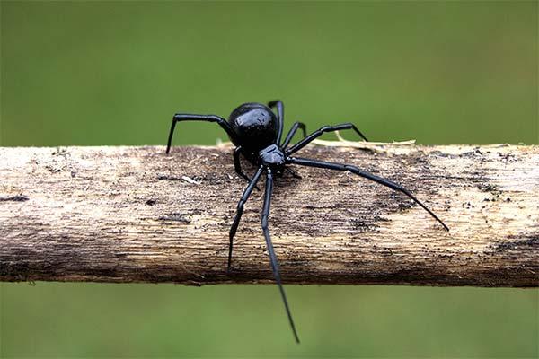 Укусил черный паук