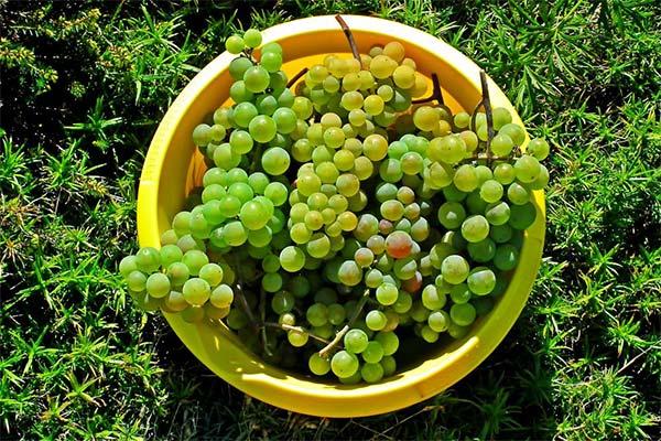 Ведро с виноградом