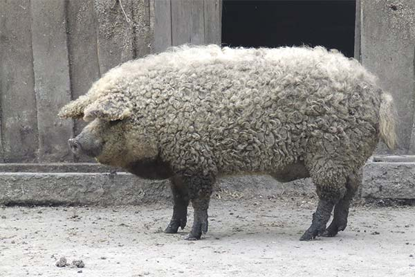 Волосатая свинья