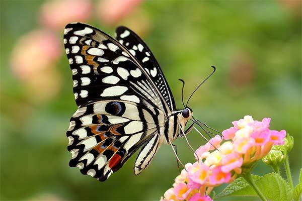 Бабочка собирает нектар