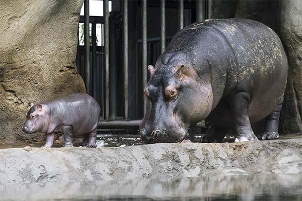 Бегемот в зоопарке