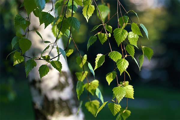 Береза с зелеными листьями