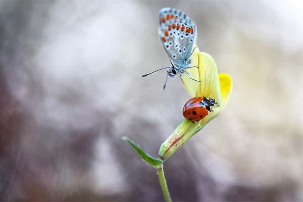 Божья коровка и бабочка