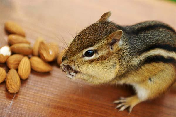 Бурундук грызет орехи