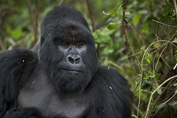 Черная горилла во сне
