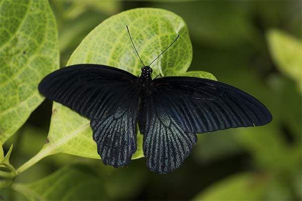 Чёрная бабочка во сне