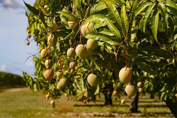 Дерево манго во сне