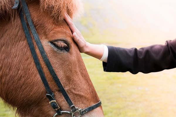Сонник гладить лошадь