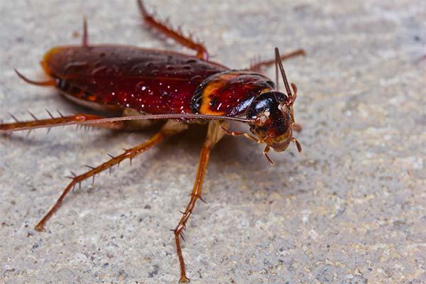 Сонник тараканы
