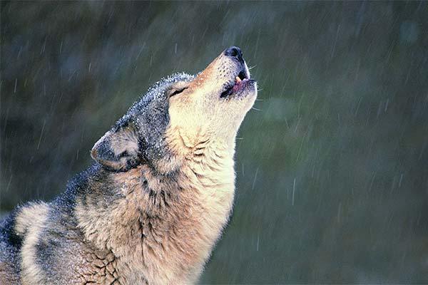 Сонник вой волков