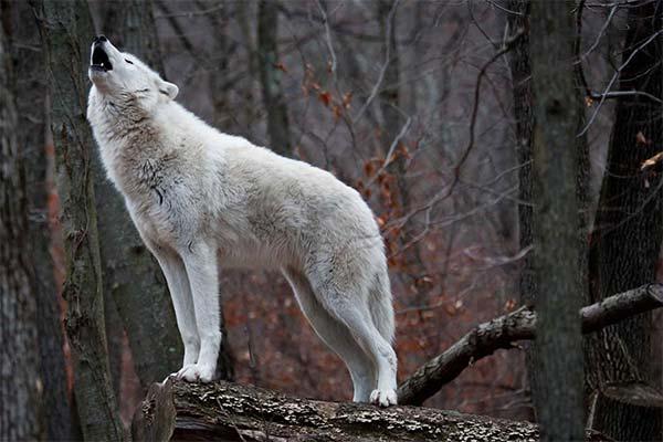 Вой волка в лесу