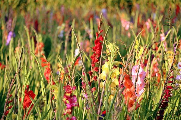 Гладиолусы на поле