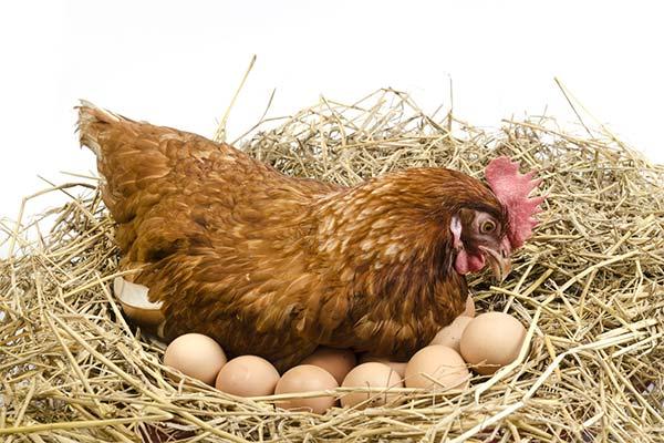 Куриное гнездо во сне