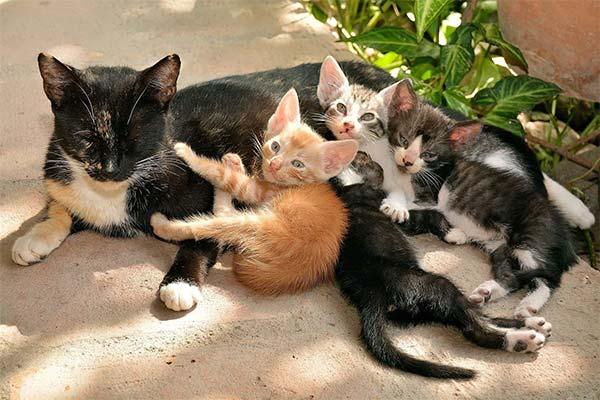 Сонник кошка с котятами