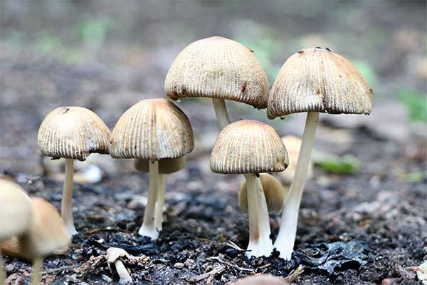 Сонник грибы поганки
