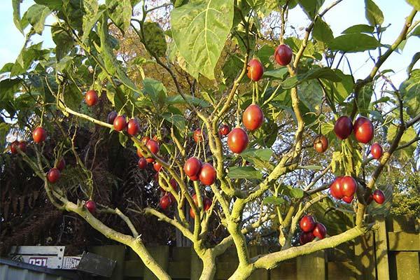 Сонник красные помидоры на деревьях