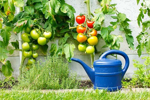 Сонник поливать помидоры