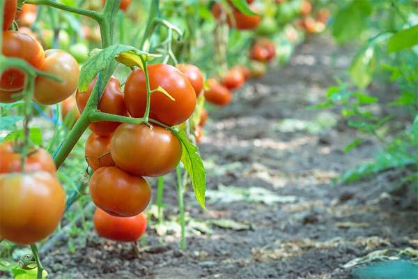 Сонник помидоры на грядке