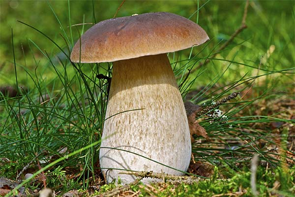 Сонник собирать белые грибы