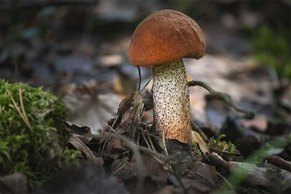 Сонник собирать грибы красноголовики