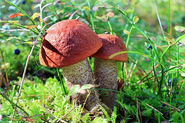 Сонник собирать грибы подосиновики