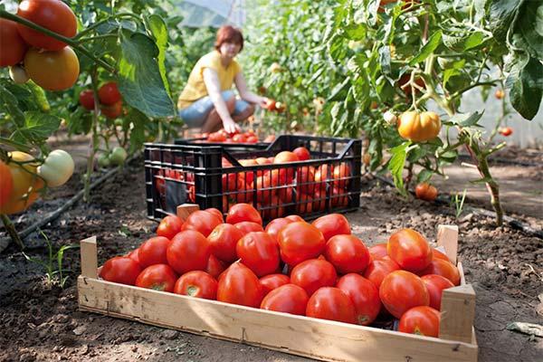 Сонник собирать красные помидоры
