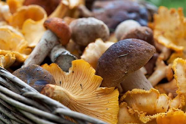 Сонник собирать съедобные грибы в лесу