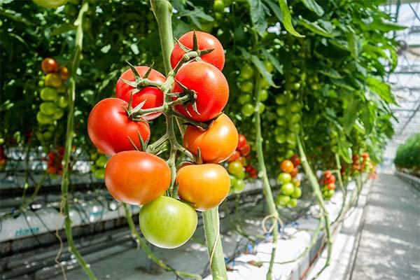 Сонник теплица с помидорами