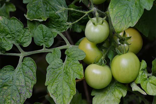 Сонник зеленые помидоры на кустах