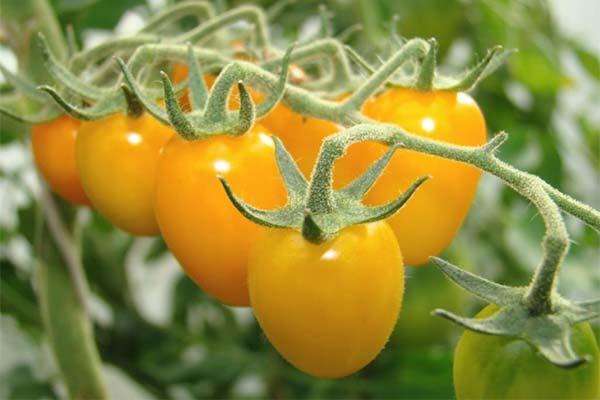 Сонник желтые помидоры