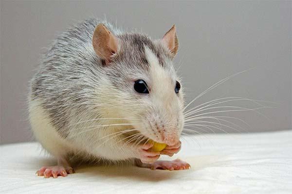 Сонник бить крыс