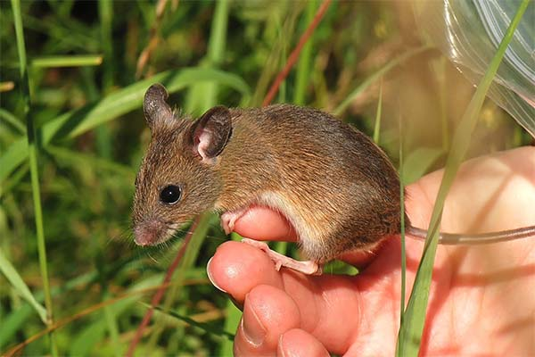 Сонник бить мышей