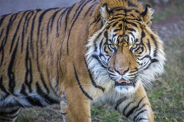 Сонник драться с тигром